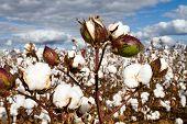 Cotton Bolls Field