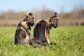 stock photo of german shepherd  - Two young puppys sitting on a green grass - JPG