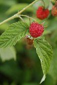 Raspberries In The Garden