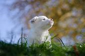 foto of laika  - Portrait of yakutian laika puppy with sky and trees on the background - JPG