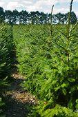 Plantatnion Of Young Green Fir Christmas Trees, Nordmann Fir And Another Fir Plants Cultivation, Rea poster
