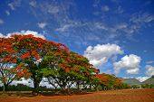 Row Of Tropical Flame Trees
