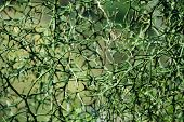Thorny branches. Thorns of trifoliate orange tree ?Poncirus trifoliata or Citrus trifoliata) Also kn poster