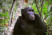 Wild Chimpanzee   Portrait