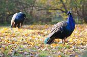 Blue Peafowls