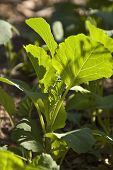 Planta de couve