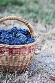 Dark Grapes In A Basket. Grape Harvesting.  Red Wine Grapes. Dark Grapes, Blue Grapes, Wine Grapes I poster