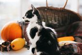 Adorable Kitty With Funny Look Playing At Pumpkin And Zucchini In Cozy Wicker Basket In Light On Woo poster