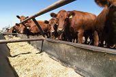 stock photo of feedlot  - feeding bunks on a farm in saskatchewan - JPG