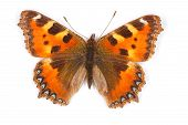 Small Tortoiseshell Top View