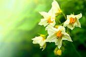 Summer White  Flower