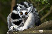 Ringtailed Lemur On Branch