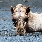 Cara de Camello
