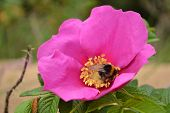 Beautiful briar flower and bumblebee