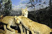 Wildcat Love
