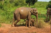 stock photo of elephant ear  - Asian elephant mother and baby - JPG