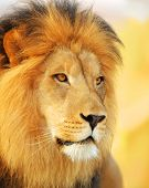 pic of african lion  - A male African lion photographed near sunset - JPG