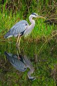 Great blue Heron em NP de Everglades, Florida