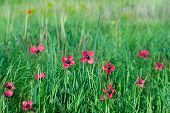 Red Wild Flovers Among Green Grass