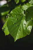 stock photo of mites  - Green linden tree leaf infected by a gall mites bacterial or a fungal disease - JPG