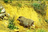 picture of pot-bellied  - A pot bellied pig in the mountains near Sapa - JPG
