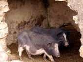 foto of pot-bellied  - Pot bellied pigs in a stable in the mountains of north Vietnam - JPG