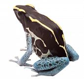 Poison arrow frog isolated on white, Dendrobates tinctorius, Patricia Tropical amphibian from Amazon