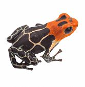 Poison arrow frog isolated. Tropical small exotic amphibian from Amazon jungle in Peru kept as pet a