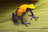 Yellow poison dart frog, Dendrobates tinctorius Citronella. Beautiful small amphibian from tropical rain forest in Suriname. These animals Amazon jungle and are often kept in a jungle terrarium.
