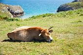 stock photo of sea cow  - Herd of cows grazing next to sea - JPG