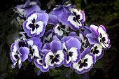 Pansies Blue Flowers In Spring