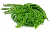 picture of moringa oleifera  - Moringa Oleifera or sonjna with fresh leaves - JPG