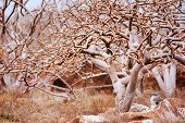 picture of booby  - Blue footed booby resting under the tree at Galapagos island of  North Seymour - JPG