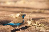 Blue Cordon-bleu Bird On The Ground