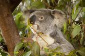 stock photo of eucalyptus leaves  - Koala bear eating eucalyptus leaves in tree - JPG
