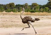 picture of long-legged-birds  - Femal Ostrich running on the plains of Hwange National Park