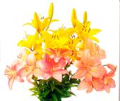 stock photo of flower arrangement  - Bouquet of yellow and pink flowering lily over white background - JPG