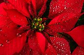 stock photo of poinsettia  - Bright christmas red poinsettia flower horizontal background - JPG