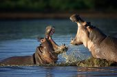 stock photo of hippopotamus  - Two fighting hippos - JPG