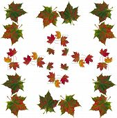 arrangement of multicolor autumn leaves of maple tree