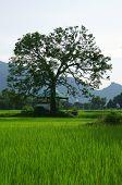 Large Tree On Rice Field