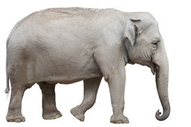 stock photo of wallow  - An Asian or Asiatic Elephant Isolated on White - JPG