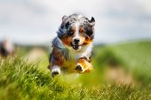 picture of australian shepherd  - Shot of purebred dog. Taken outside on a sunny summer day.