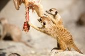 stock photo of flesh  - Pair of  meerkat  eat raw flesh - JPG