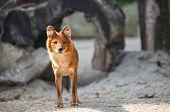 beautiful red fox standing, outdoor