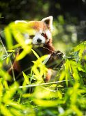 Young red panda eating leaves in nature