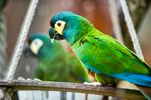 beautiful green parrot front of mirror