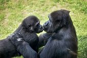 picture of lowlands  - mother gorilla kissing her baby - JPG