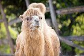 Beautiful  Bactrian camel (camelus ferus)