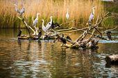 Colony of Grey Herons (Ardea cinerea)